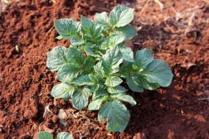 Aartappel Plant