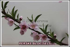 PERSKE BLOEISELS